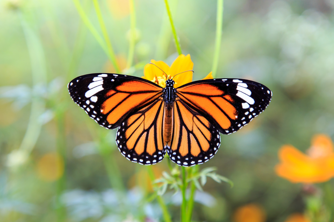 Monarch Butterfly Stretching Wings